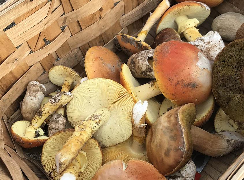 micocyl, setas, campaña, otoño, regulación micológica, permisos, Cesefor